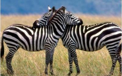 На рисунке нарисованы две зебры